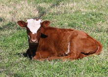 SHR Jaxson's Miss Avery heifer calf