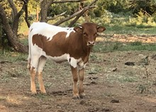 Tejas Tactical/Outback Cherry heifer20