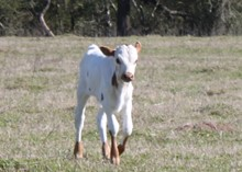 River Trail Bull calf